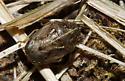 Neottiglossa species - possibly undata? - Neottiglossa undata
