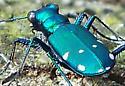 Shiny Metallic Green beetle seen in decidous forest in southern Illinois - Cicindela sexguttata