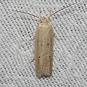 Hodges#1032 - Gonioterma mistrella