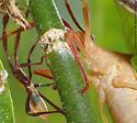 Chondrocera laticornis nymph - Chondrocera laticornis