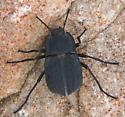 darkling beetle - Stenomorpha opaca