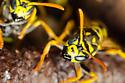 Paper Wasp - Polistes dominulus - Polistes dominula
