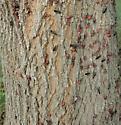 Box Elder Bugs (Boisea trivittata). - Boisea trivittata - male - female