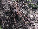 walton county florida panhandle spider - Dolomedes