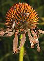 Citronella Ants - Lasius umbratus - male - female