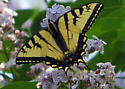 some type of Swallowtail butterfly I believe - Papilio canadensis