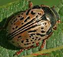 Leaf Beetle - Calligrapha multipunctata
