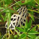 Type of Tiger moth? - Apantesis