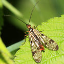 Scorpionfly - Panorpa claripennis - male