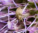 Tiny weevil - Geraeus picumnus