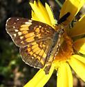 Silvery Checkerspot - Chlosyne nycteis - female