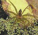 Water Spider - Dolomedes triton