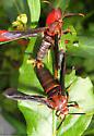 mating moths - Vitacea polistiformis - male - female