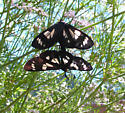 Gnophaela latipennis or Alypia ridingsii - Gnophaela latipennis - male - female