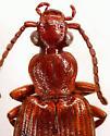 Helluomorphoides