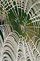 unidentified spider - Larinia borealis