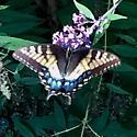 Unique Tiger Swallowtail - Papilio glaucus
