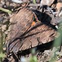 Drasteria - Drasteria ochracea