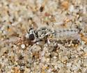 Oso Flaco Robber Fly - Ablautus schlingeri - male