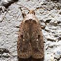 0889 - Agonopterix argillacea