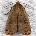 Parabagrotis cupidissima