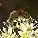 Unknown Bee - Andrena astragali