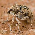 Weevil? - Rhinoncus bruchoides
