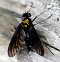 Golden-backed Snipe Fly - Chrysopilus thoracicus