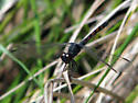 Is this a seaside dragonlet? - Erythrodiplax berenice