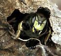Leaf-nest occupant - Anthidium manicatum - male