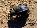 Large, black desert beetle - Philolithus