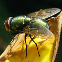 Blow Fly - Lucilia sericata