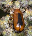 Beetle ID request - Anomoea