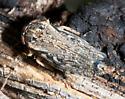 Leafhopper - Phlepsanus