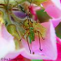Flower Bug Needs ID - Scudderia