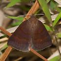 moth - Argyrostrotis deleta