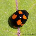 Lady Beetle - Brachiacantha ursina