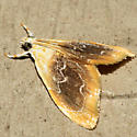 Black-patched Glaphyria Moth - Hodges #4873 - Glaphyria fulminalis - female