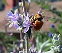 unknown bee - Xylocopa varipuncta