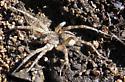 Big spider - Arctosa