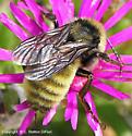 Bumble Bee? - Bombus pensylvanicus - male