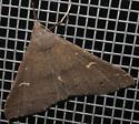 Speckled Renia? - Renia adspergillus - female