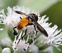 Trichopoda sp - Trichopoda