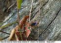 Wasp carrying dead leaves, etc into rotten stump - Tachypompilus ferrugineus - female