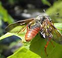 Bee? - Trichiosoma triangulum