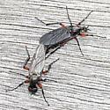 Bibio femoratus - male - female