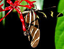 Butterfly - Heliconius charithonia - female