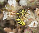 Pollen-Wasp on Phacelia ramosissima - Pseudomasaris coquilletti - female