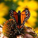 Queens butterfly? - Danaus plexippus - male