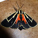 8170 Banded Tiger Moth - Apantesis